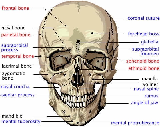 Facial Bone Anatomy - Diseases &.
